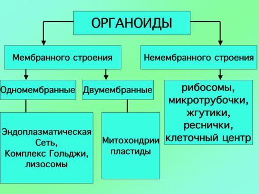 схема органоиды клетки.jpg