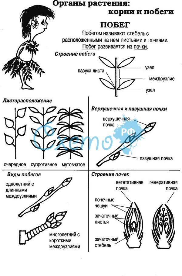 Органы растений побеги